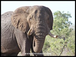 Elephant bull on the Gomondwane Loop